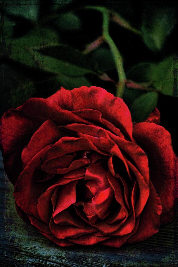 Rose 385 by Pamela Cooper