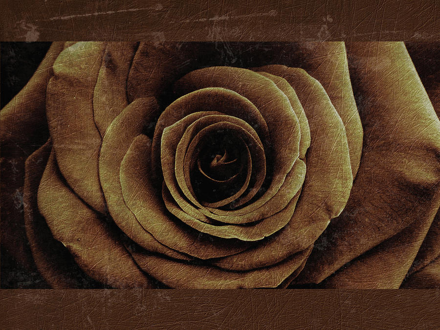 Rose 8 by D A Metrov