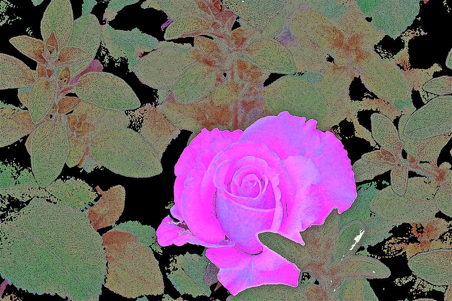 Floral Photograph - Rose 97 by Pamela Cooper