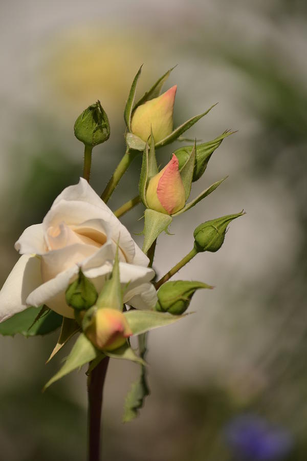 Rose Photograph - Rose And Buds by Atul Daimari