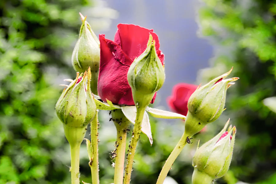 Rose And Buds Photograph