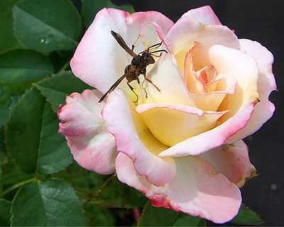 Rose Photograph - Rose And Hornet by Suzette Eichenberg