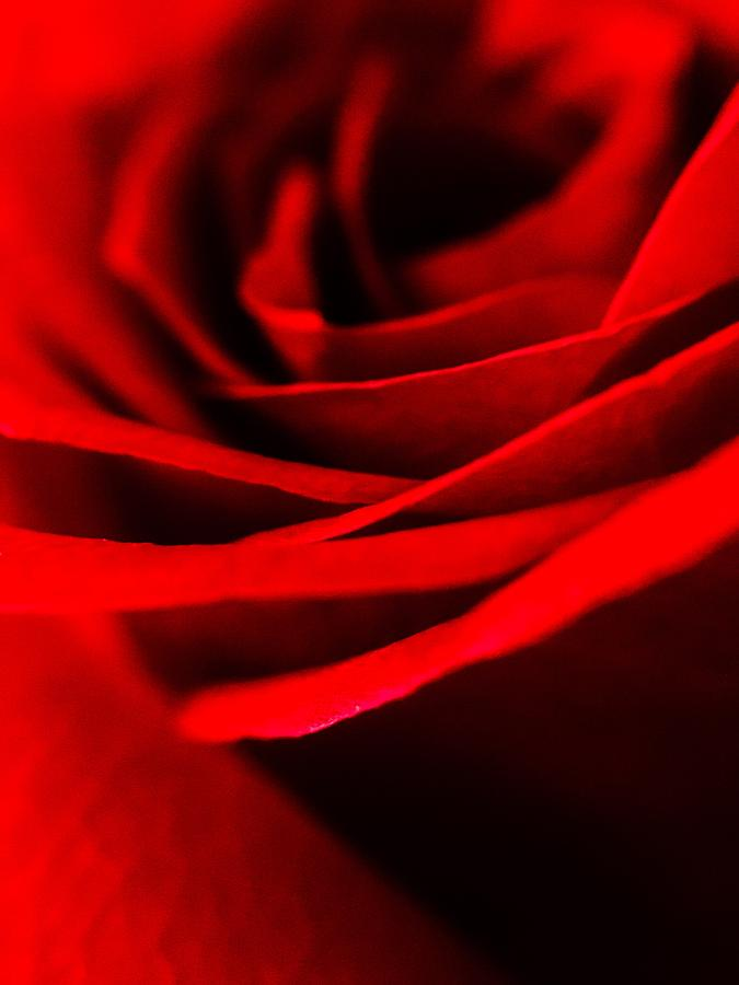 Red Photograph - Rose by Angela Sherrer