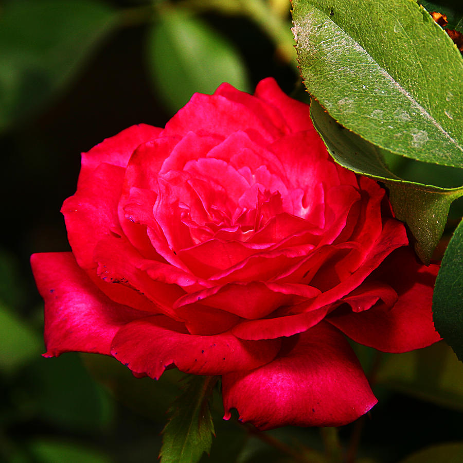 Flower Photograph - Rose by Anthony Jones