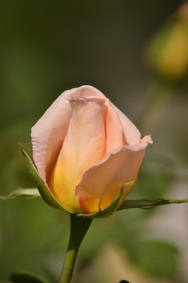 Flower Photograph - Rose by Atul Daimari