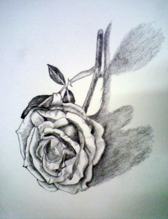 Rose Drawing - Rose by Bhupinder Singh