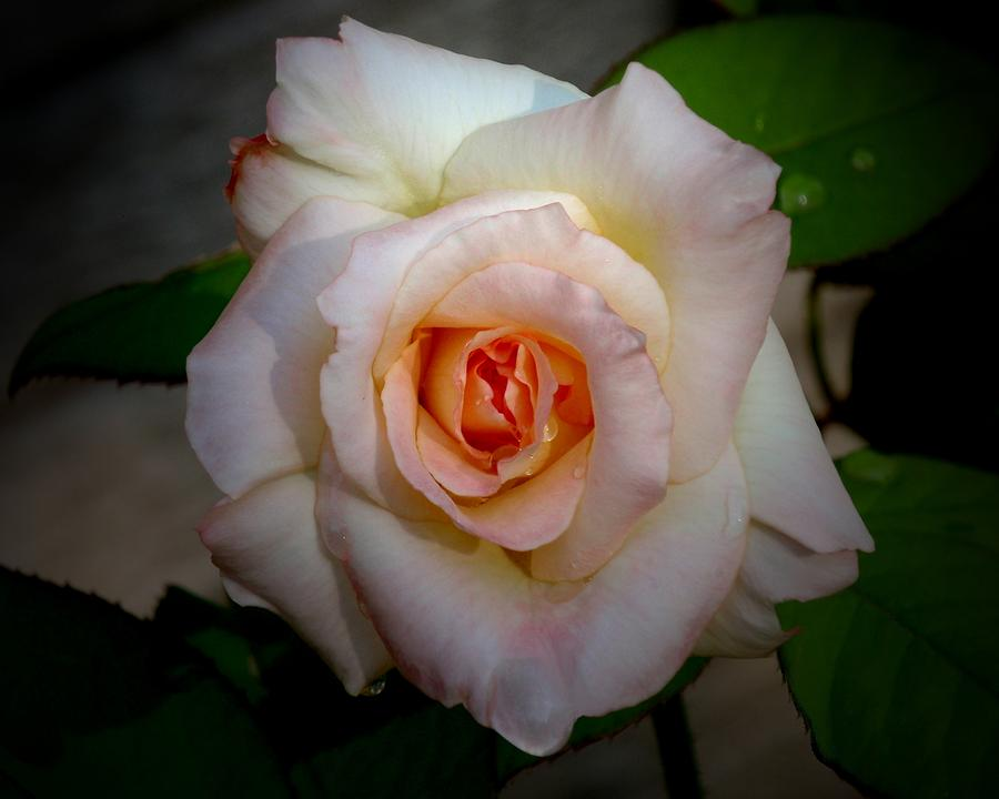 Rose Photograph - Rose Blushing After Rain by B Nelson