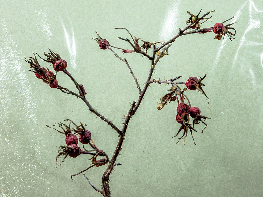 Rose Hips by Stan Kwong