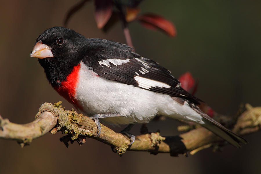 Grosbeak Photograph - Rose-breasted Grosbeak by Bruce J Robinson