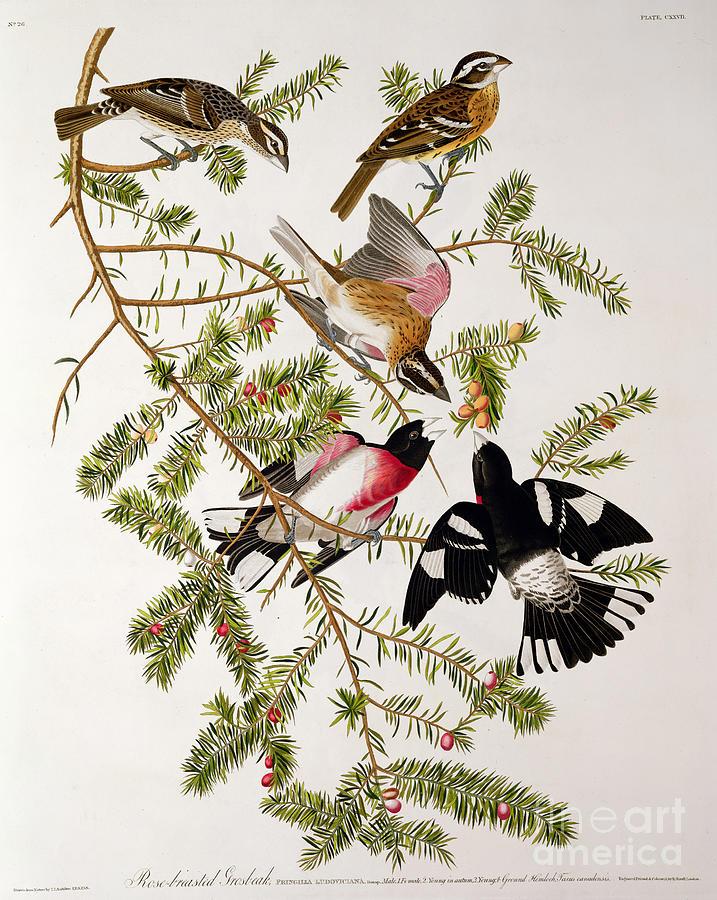 Rose-breasted Grosbeak Drawing - Rose Breasted Grosbeak by John James Audubon
