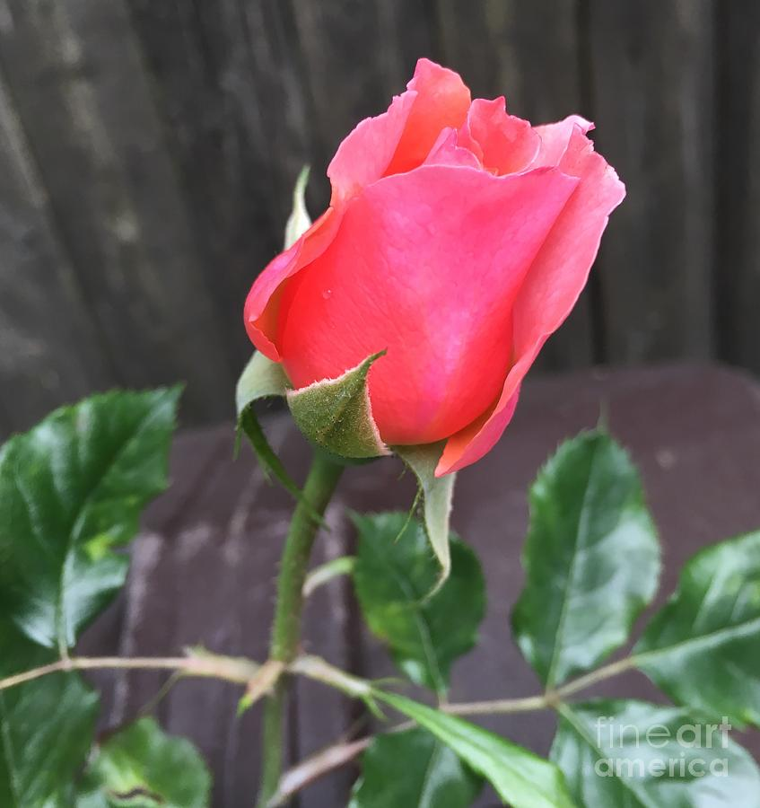 Rose Photograph - Rose Bud by CAC Graphics