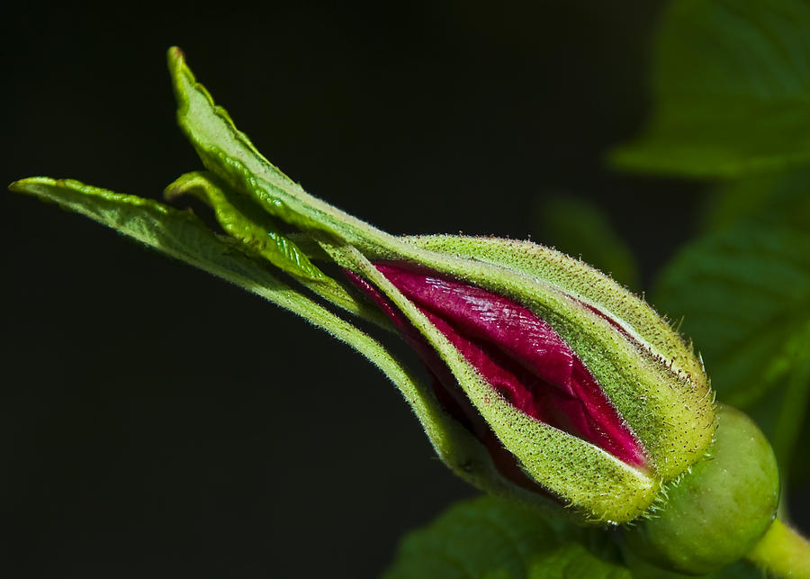 Flower Photograph - Rose Bud by Svetlana Sewell
