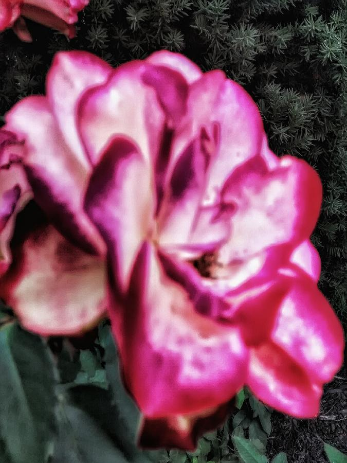 Flowers Photograph - Rose By Another Name by Dustin Soph