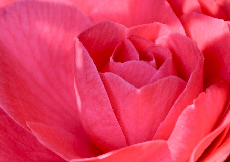 Pink Photograph - Rose Camellia by Lori Kesten