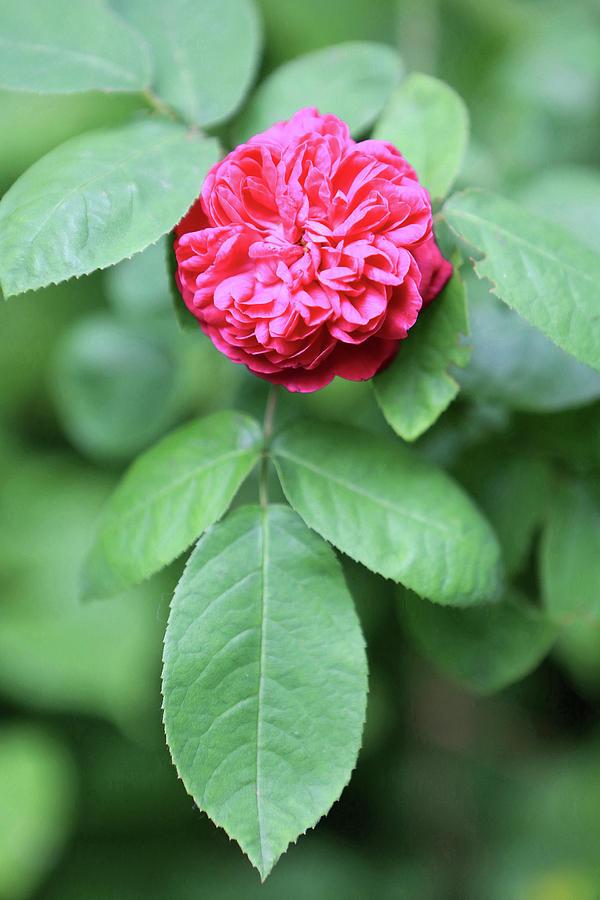 Plante Photograph - Rose by Catherine Leblanc