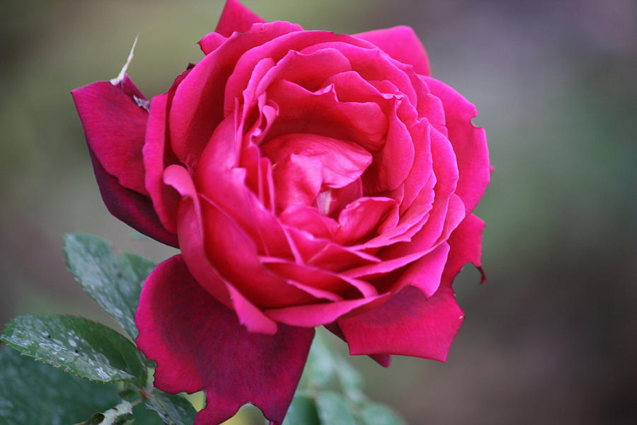 Floral Photograph - Rose by Donna Walsh