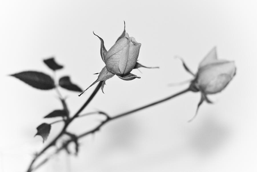 Black Photograph - Rose Duo by Ryan Kelly