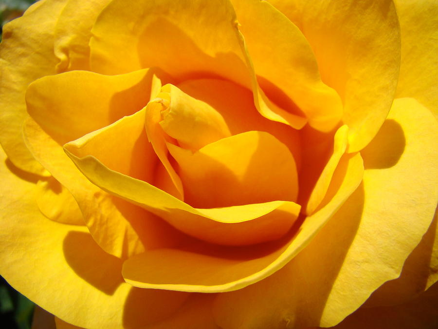 Rose flower orange yellow roses 1 golden sunlit rose baslee troutman rose photograph rose flower orange yellow roses 1 golden sunlit rose baslee troutman by baslee mightylinksfo