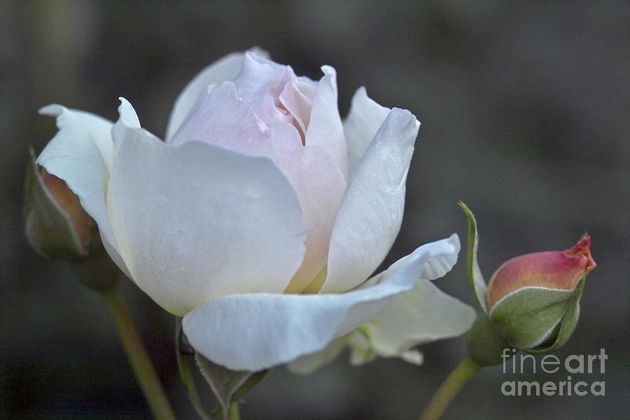 Rose Photograph - Rose Flower Series 14 by Heiko Koehrer-Wagner