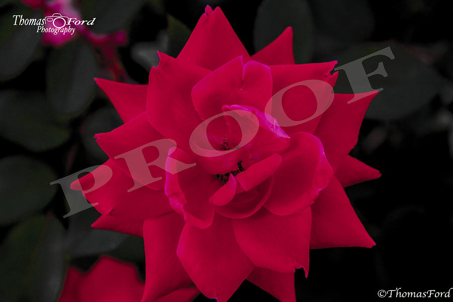 Rose Photograph - Rose Flower by Thomas Ford
