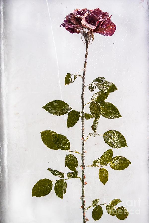 Rose Frozen Inside Ice by John Wadleigh
