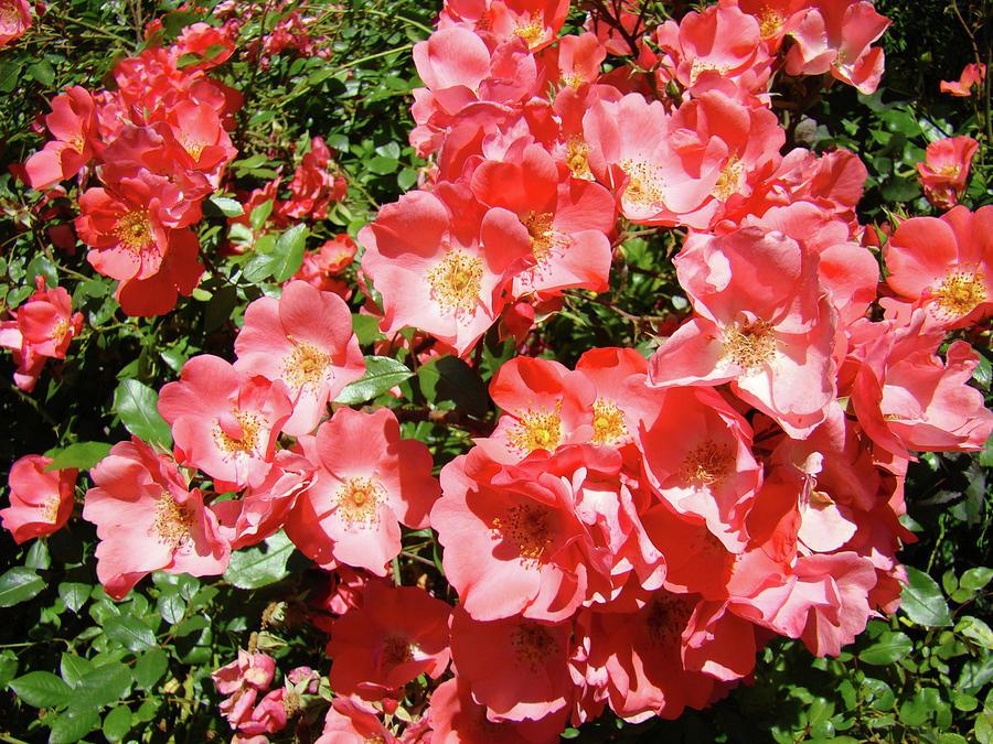 Rose Photograph - Rose Garden Pink Roses Botanical Landscape Baslee Troutman by Baslee Troutman