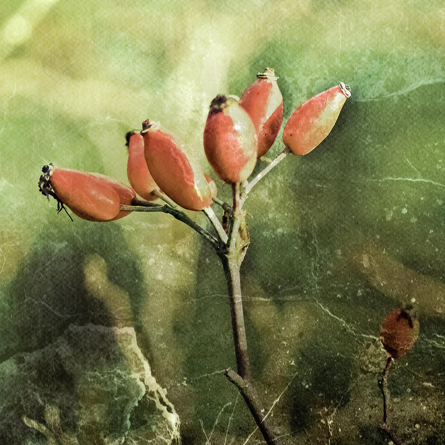 Haw Photograph - Rose Hips by Mandy Tabatt