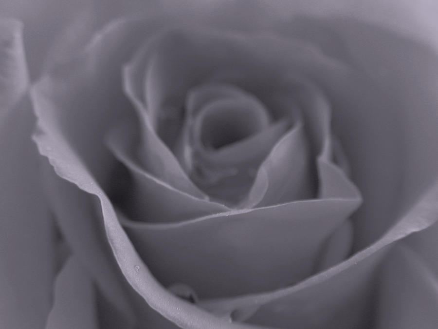 Rose Photograph - Rose In Black And White  by Juergen Roth