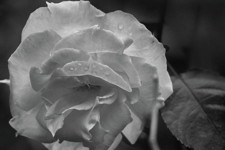 Rose in Black and White by Kelly Hazel