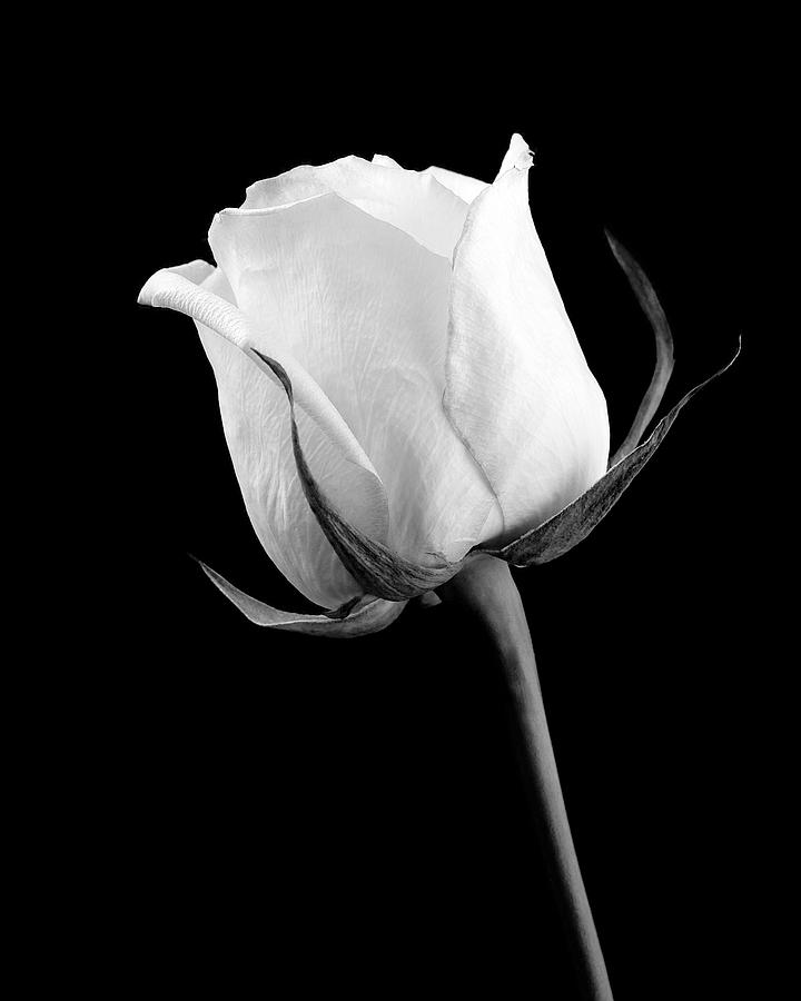 rose in black and white photograph by william haney
