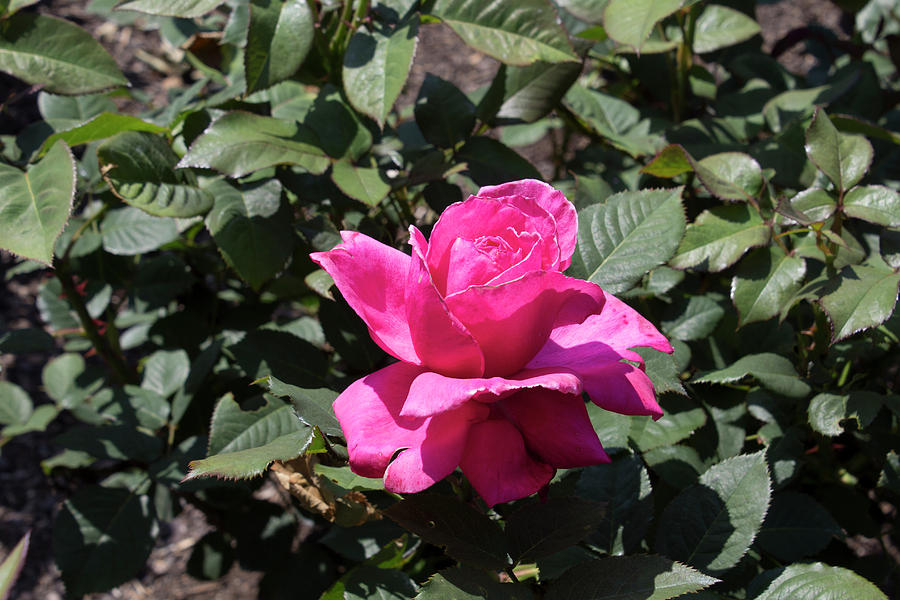 Red Rose Photograph - Rose In Flower Bed by LaMont Johnson