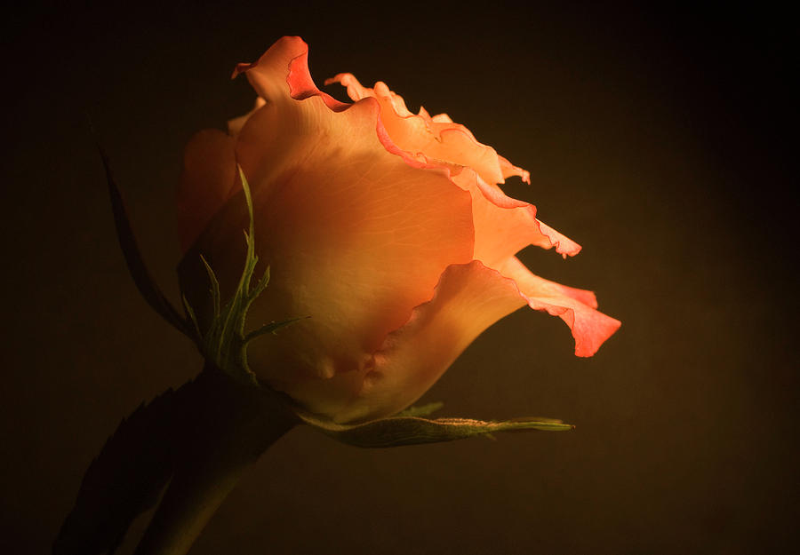 Flowers Photograph - Rose in Light by Jessica Wakefield