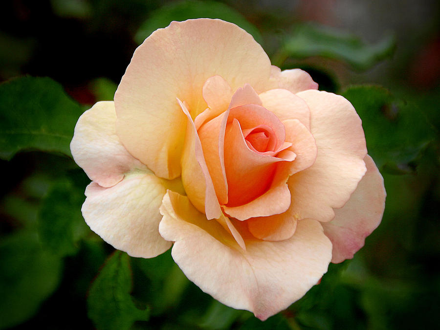One Photograph - Rose Is A Rose Is A Rose by Christine Till
