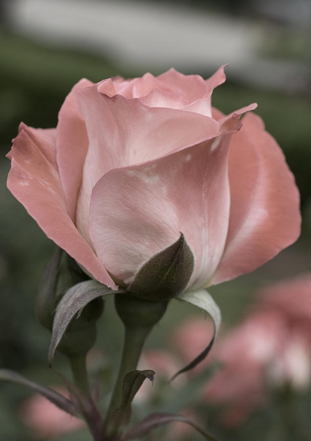 Rose Photograph - Rose by Jessica Wakefield