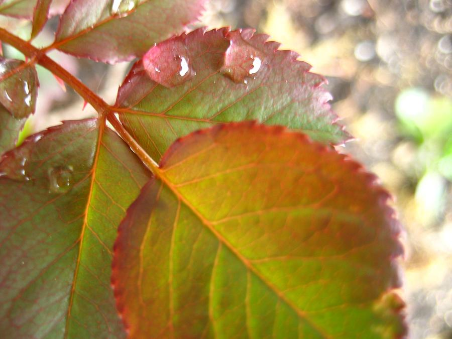 Nature Photograph - Rose Leaves by Shirley Sirois