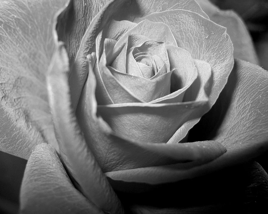 Rose Photograph - Rose by Lindsey Orlando