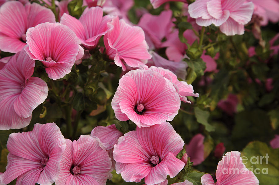 New England Photograph - Rose Mallow Flowers by Erin Paul Donovan