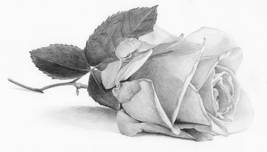 Pencil Drawing - Rose by Nolan Clark