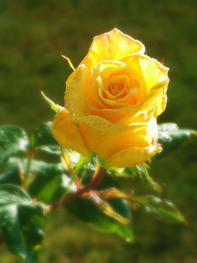 Rose Photograph - Rose Of Friendship by Mg Blackstock