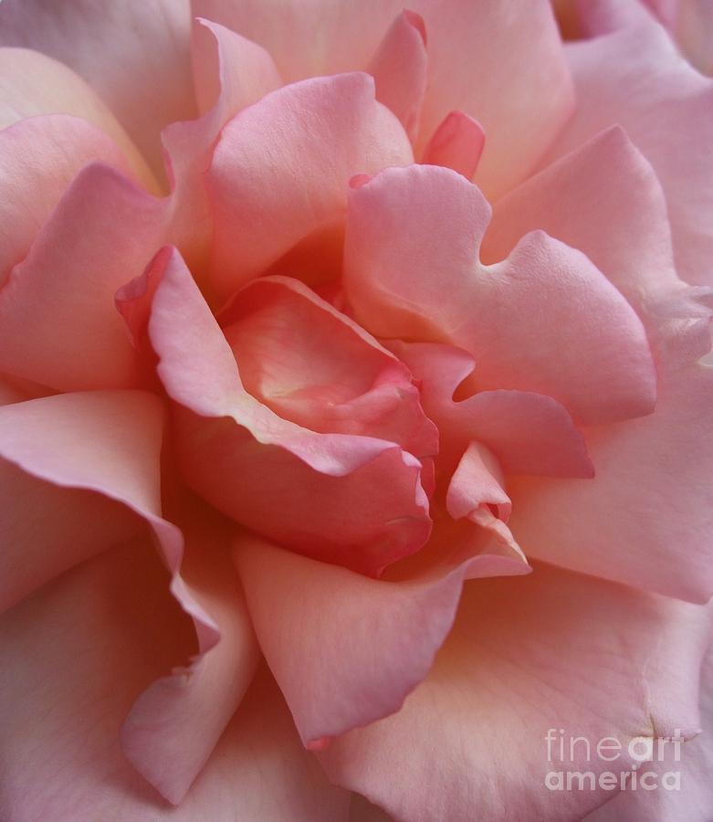 Pink Photograph - Rose Of Light by Deborah Brewer