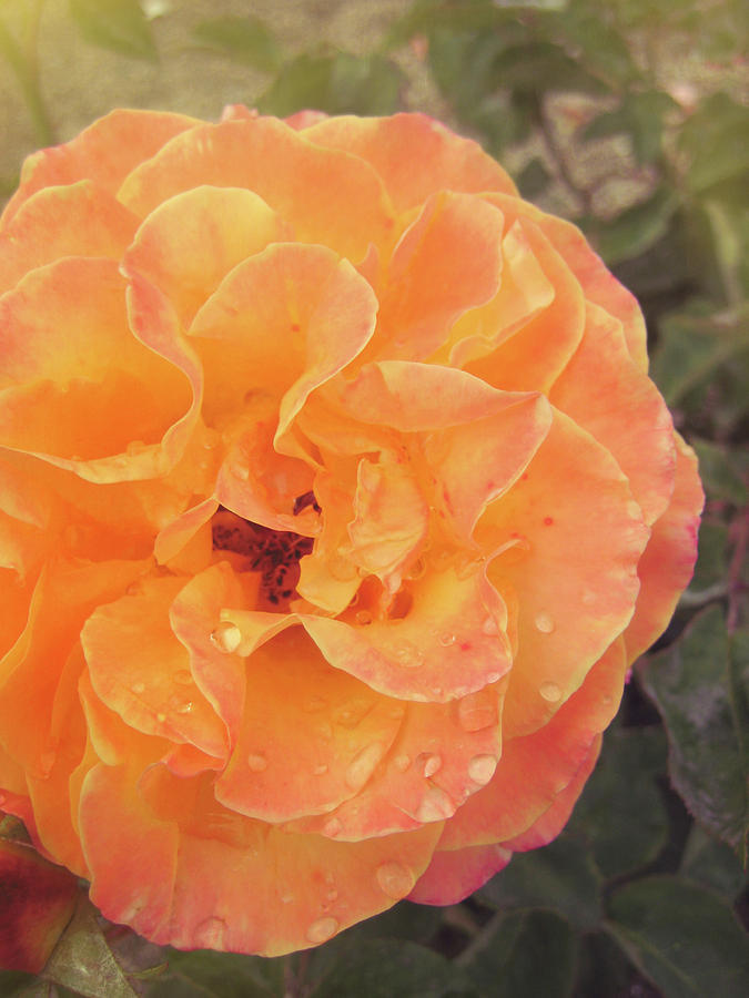 Rose Photograph - Rose Of Seville by JAMART Photography