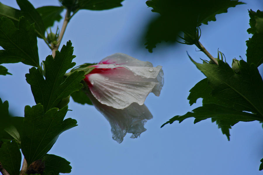 Rose Of Sharon Bloom Photograph - Rose Of Sharon After The Rain by Martin Morehead