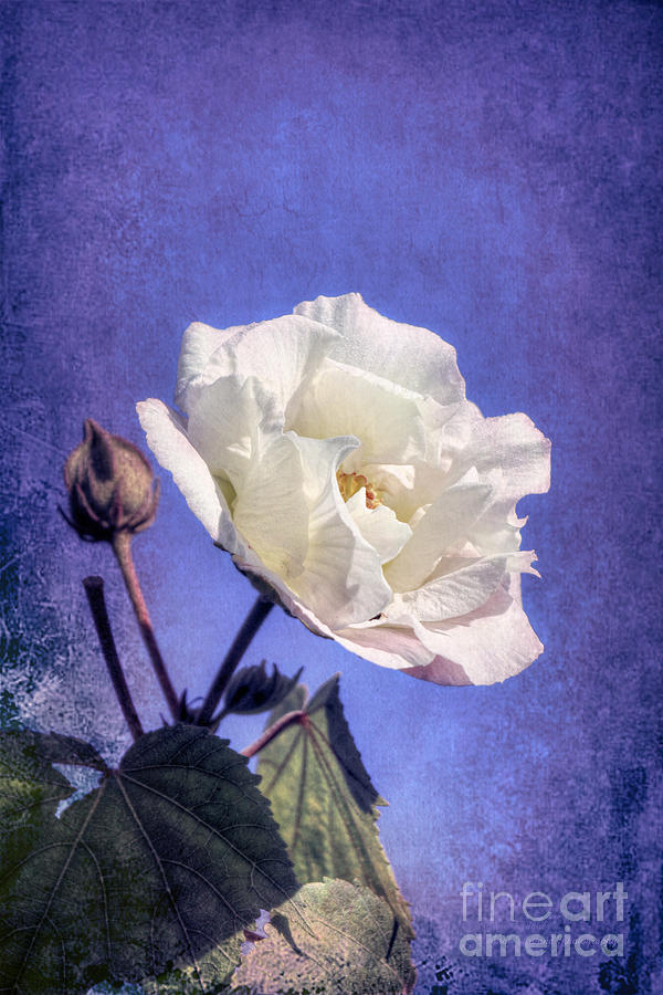 Rose of Sharon in Blue Fog by Elaine Teague