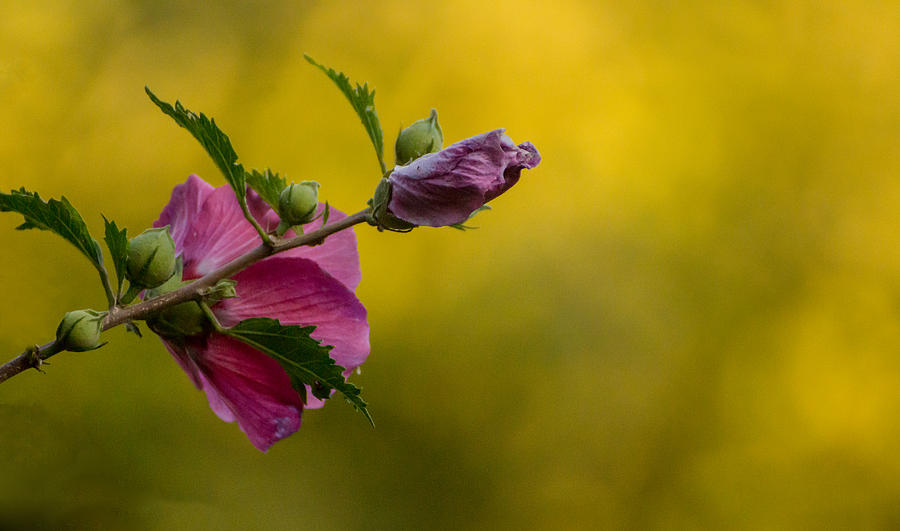 Rose of Sharon with soft yellow background by Photographic Arts And Design Studio