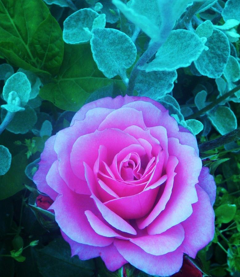 Rose Photograph - Rose Petal Perfection by Daniele Smith