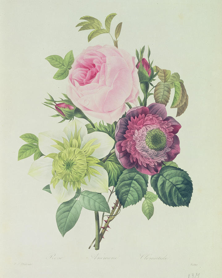 Rose Painting - Rose by Pierre Joseph Redoute