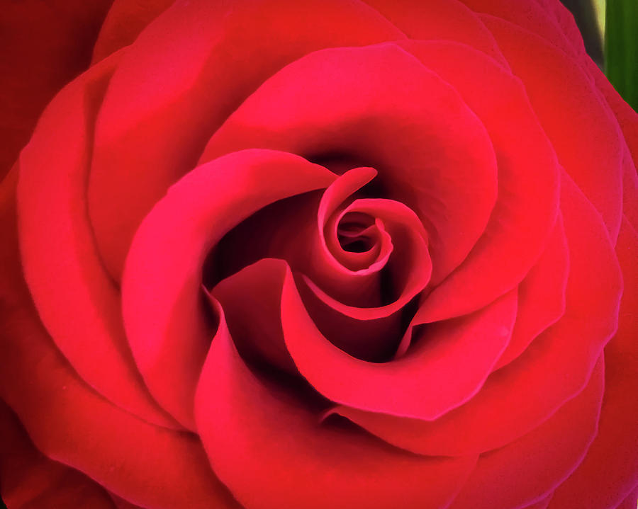 Rose Red 1 by Ronda Broatch