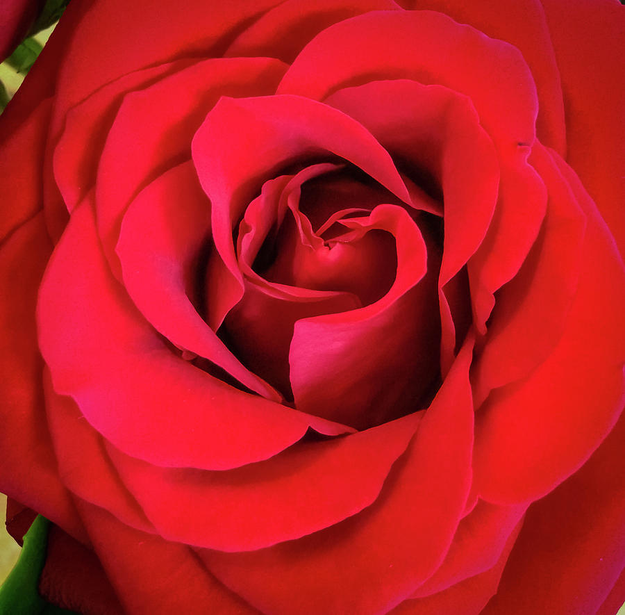 Rose Red 2 by Ronda Broatch