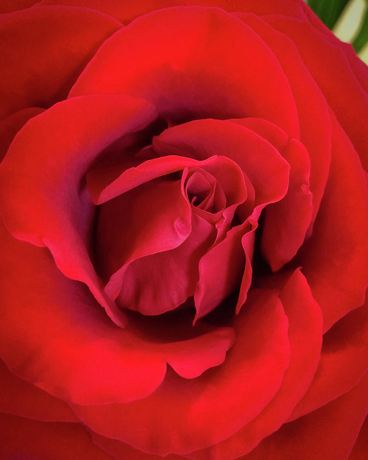 Rose Red 4 by Ronda Broatch