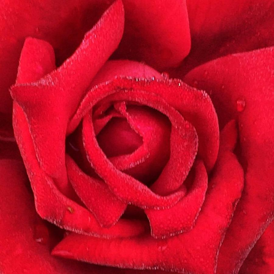 Flower Photograph - Rose #red #rose #flower #garden by Joan McCool